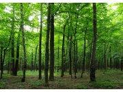 Fototapeta Listnatý les FTNS-2446, rozměry 360 x 270 cm Fototapety vliesové