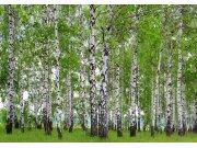 Fototapeta Břízový les FTNS-2448, rozměry 360 x 270 cm Fototapety vliesové