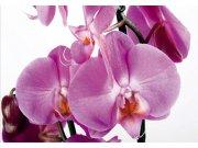Fototapeta Orchidej FTNS-2459, rozměry 360 x 270 cm Fototapety vliesové