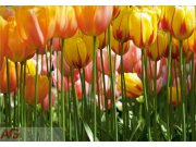 Fototapeta AG Tulipány FTXXL-0045 | 360x255 cm Fototapety skladem