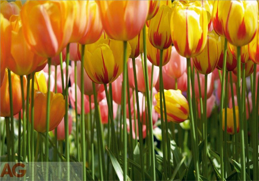Fototapeta AG Tulipány FTXXL-0045 | 360x255 cm - Fototapety na zeď