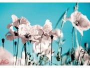 Fototapeta Poppies on blue FTXXL-0377, rozměry 360 x 255 cm Fototapety papírové
