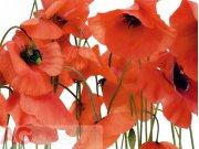 Fototapeta Wild poppies FTS-0479, rozměry 360 x 254 cm Fototapety papírové