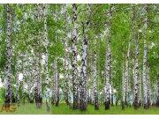 Fototapeta Břízový les FTS-1304, rozměry 360 x 254 cm Fototapety skladem