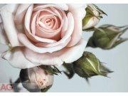 Fototapeta Růže FTNXXL-0313, rozměry 360 x 270 cm Fototapety vliesové