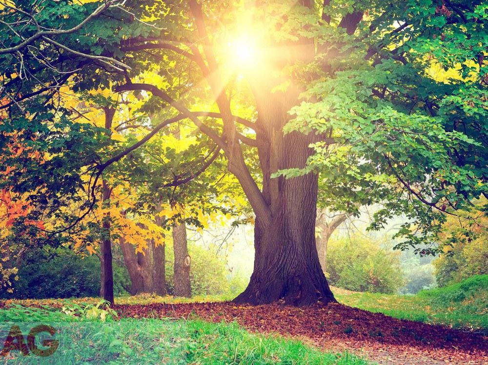 Fototapeta Listnatý strom FTXXL-1464, rozměry 360 x 255 cm - Fototapety skladem