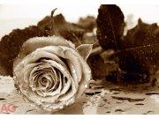 Fototapeta Růže FTS-0086, rozměry 360 x 254 cm Fototapety papírové