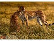 Fototapeta Leopard FTNXXL-0420, rozměry 360 x 270 cm Fototapety vliesové